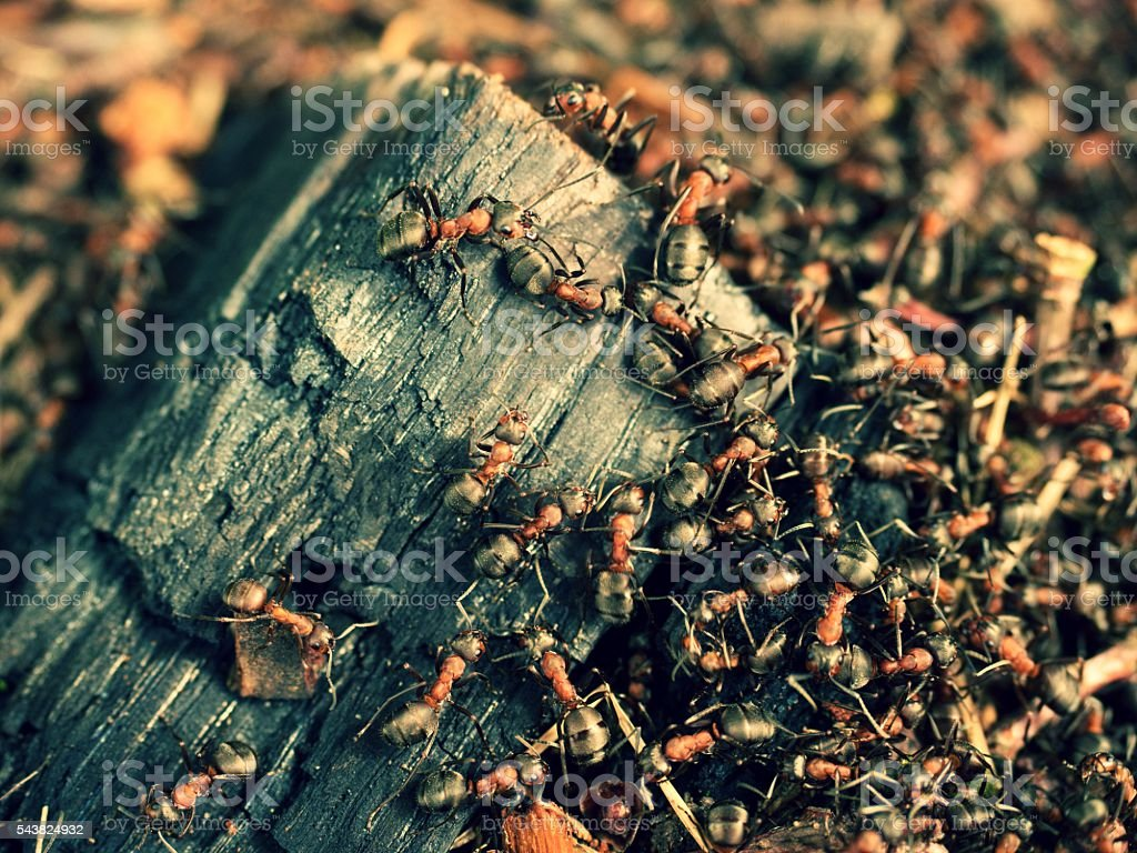 In middle of wild ants build their anthill. Ant family stock photo