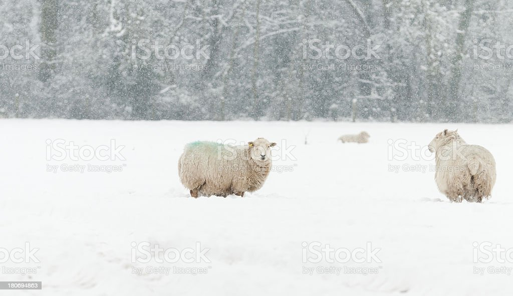 In need of a woolly jumper! royalty-free stock photo