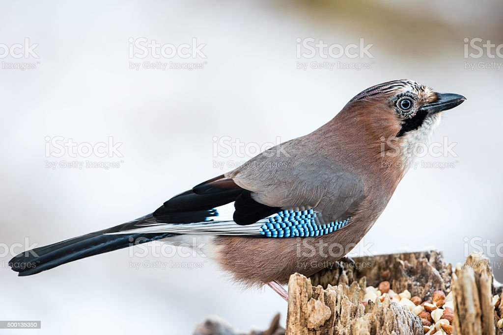 JAY in profile stock photo