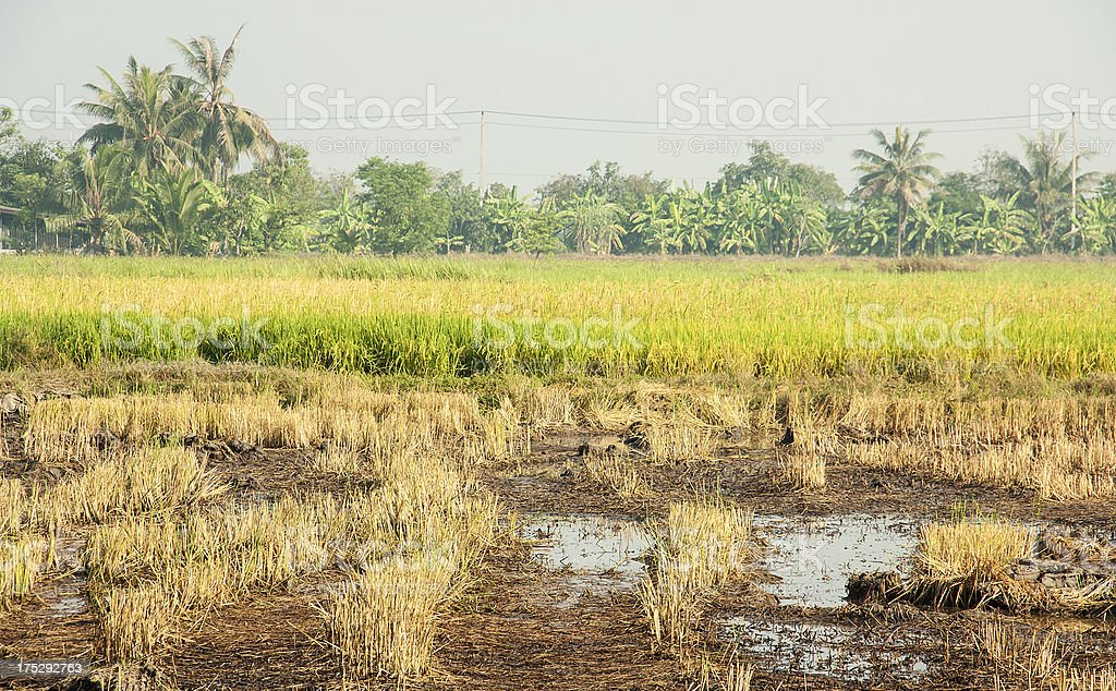 In rice cultivation. royalty-free stock photo