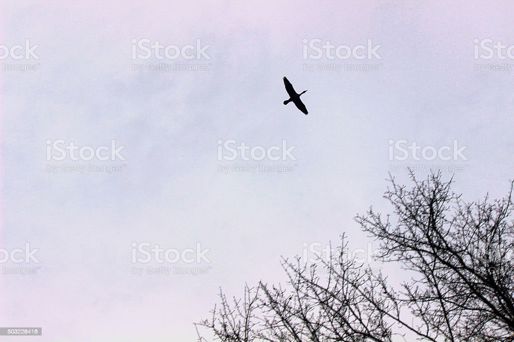 In Silhouette Lone Canada Goose Flies Over Trees stock photo