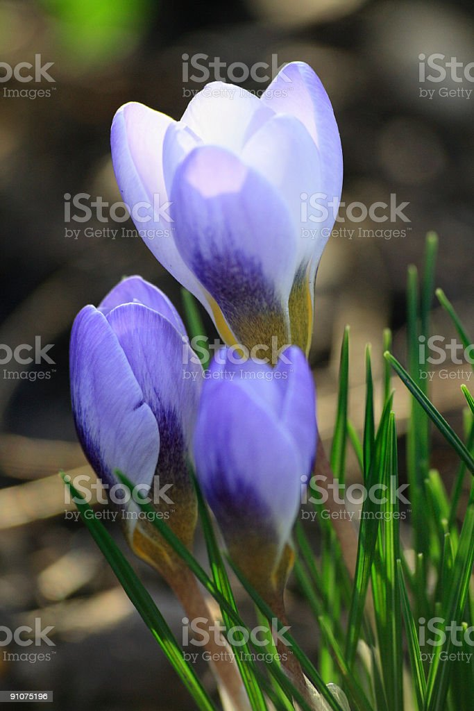 FIRST CROCUS in springtime royalty-free stock photo