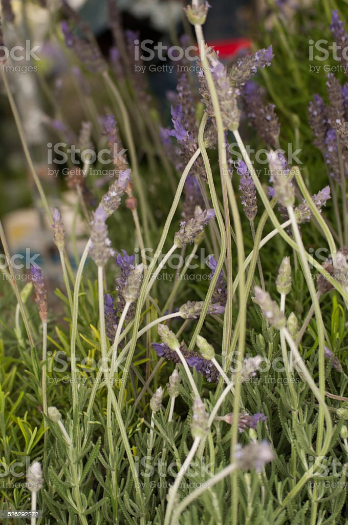 In the beautiful garden flowers of lavender stock photo