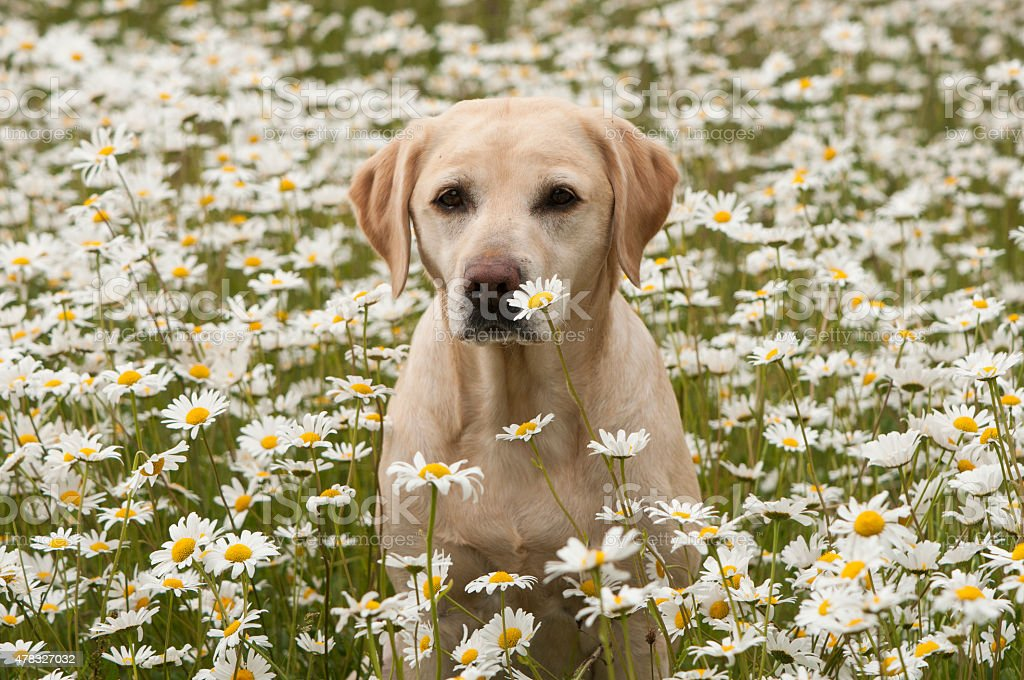 in the daisies stock photo