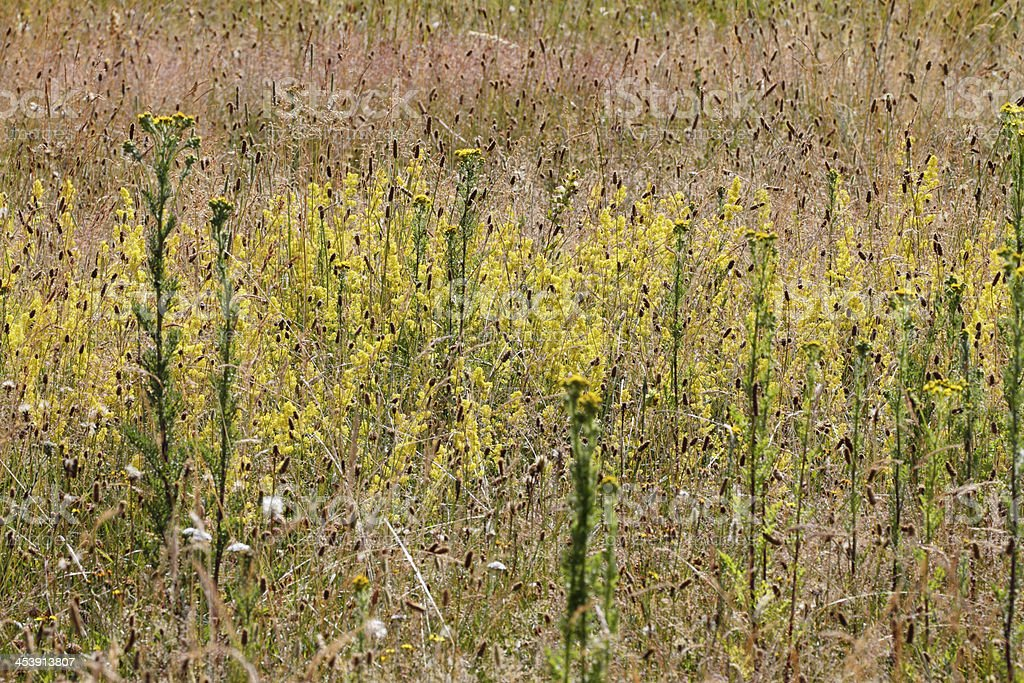 Yellow lady's bedstraw Galium verum dry summer grassland meadow royalty-free stock photo