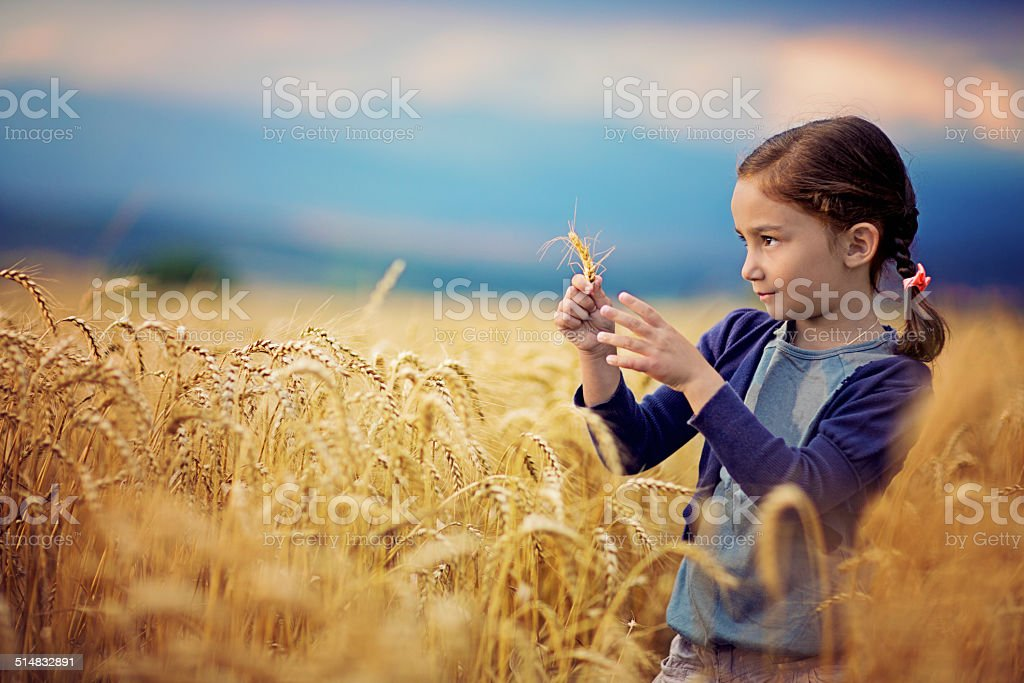 In the field of wheat stock photo