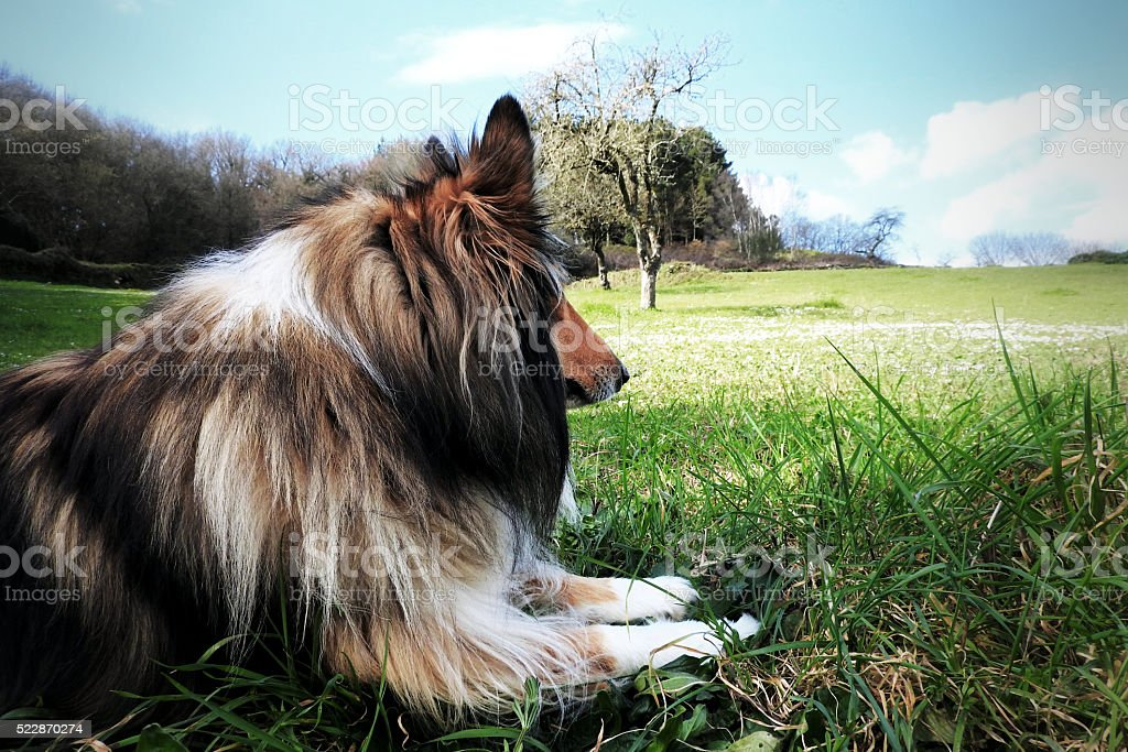 In the field relaxing collie stock photo