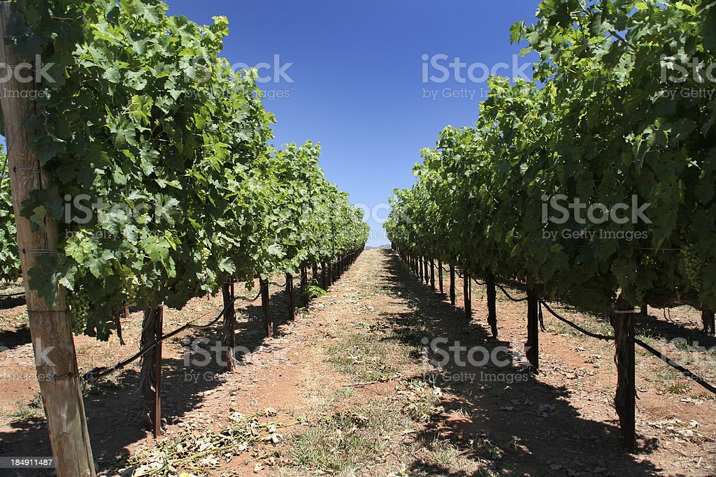 In the Grapevines royalty-free stock photo