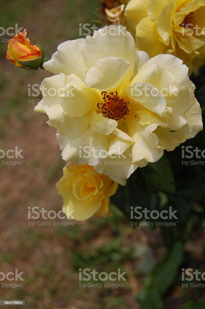 In the heart of yellow roses 3. stock photo