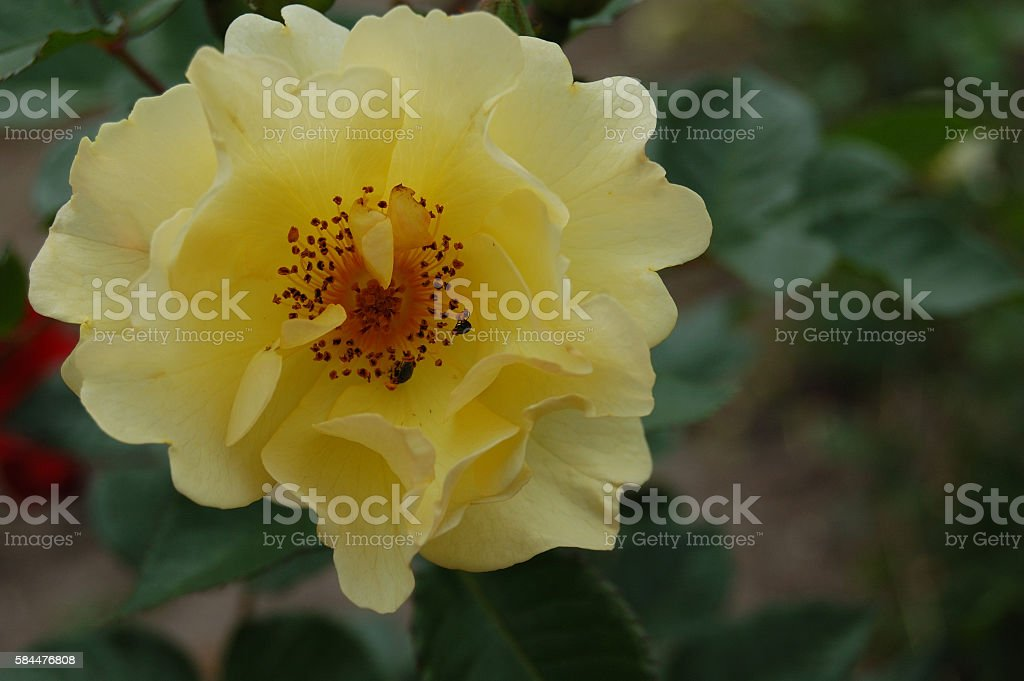 In the heart of yellow roses 4. stock photo