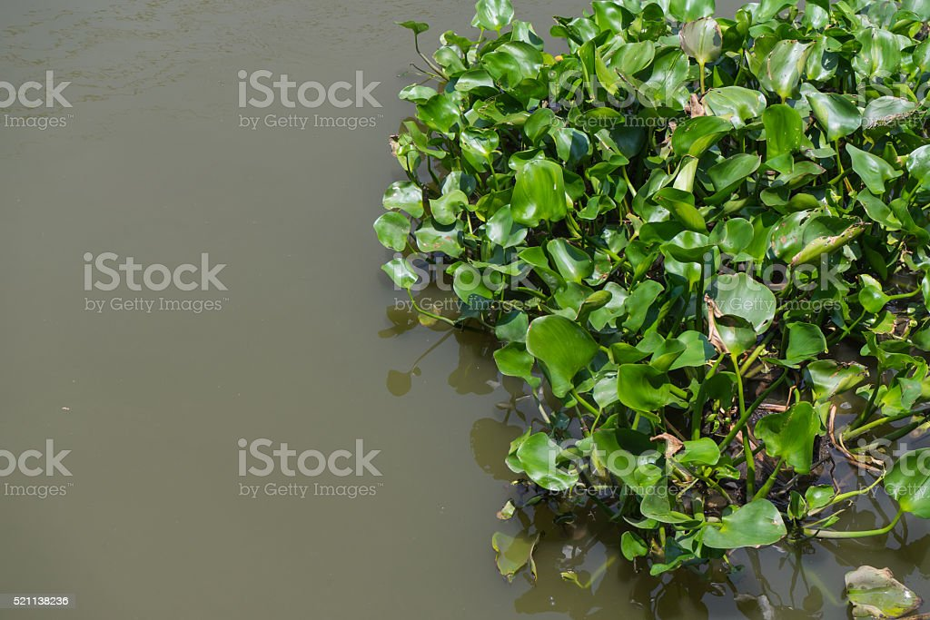 In the middle of the water hyacinth stock photo
