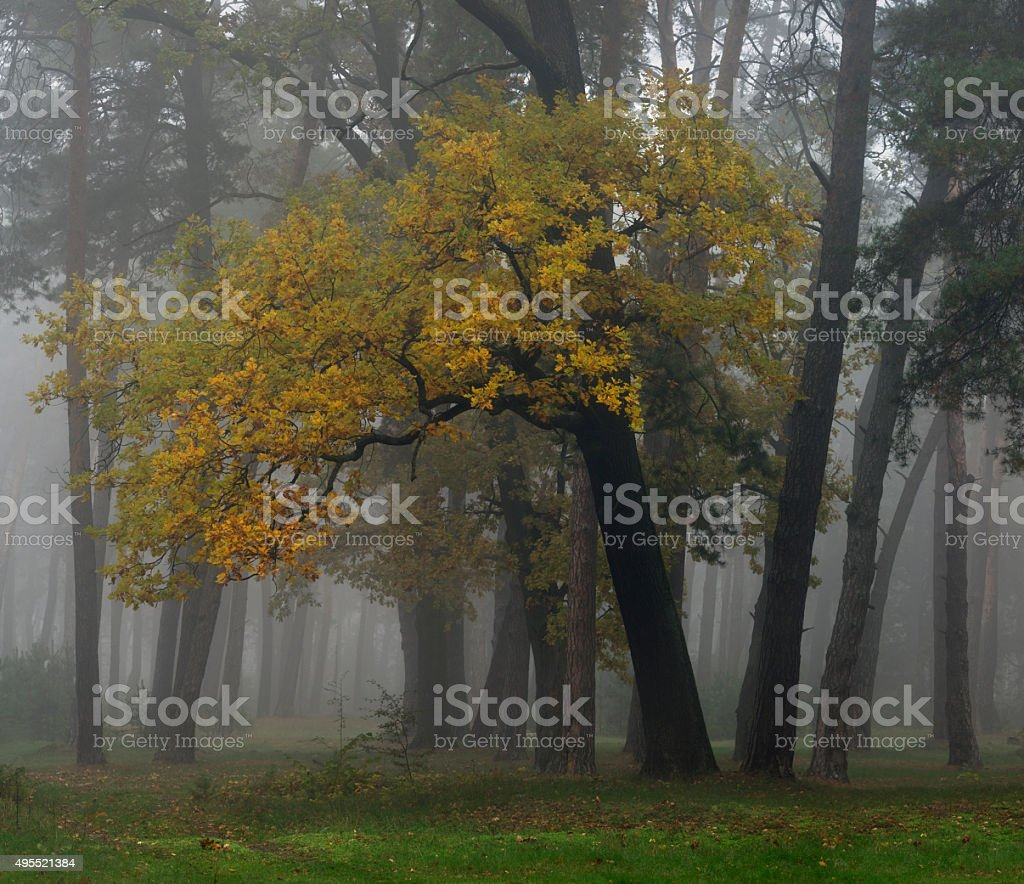 In the misty autumn forest stock photo