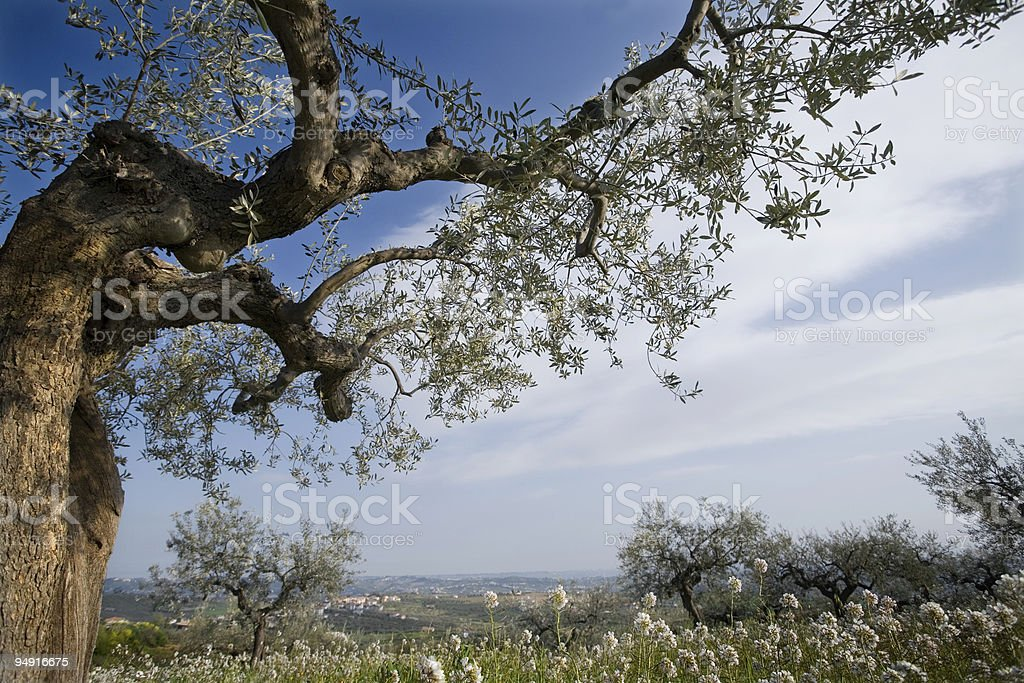In the olive orchard royalty-free stock photo