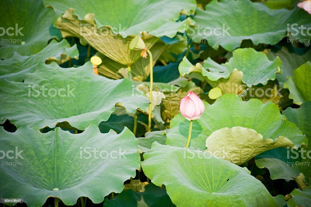 In the pond royalty-free stock photo