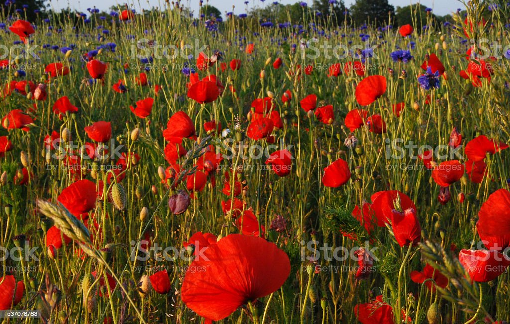 In the poppy field stock photo