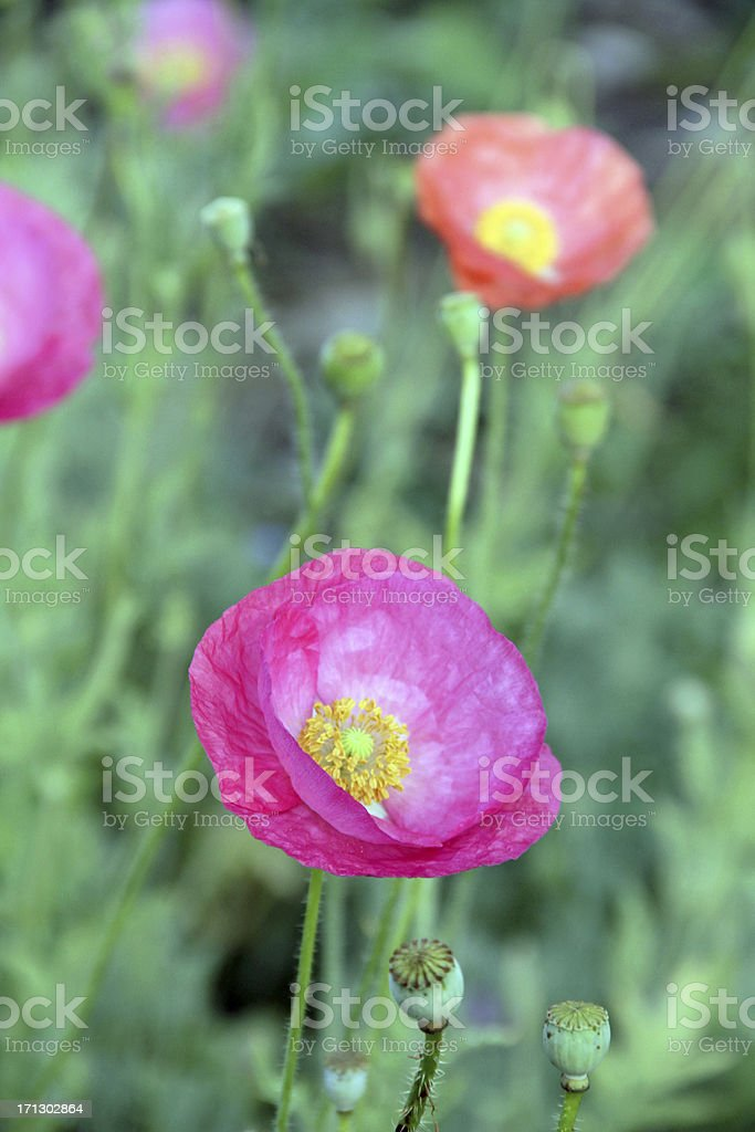 In the Poppy Patch royalty-free stock photo