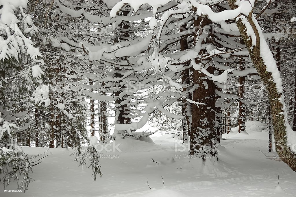 In the winter forest. stock photo