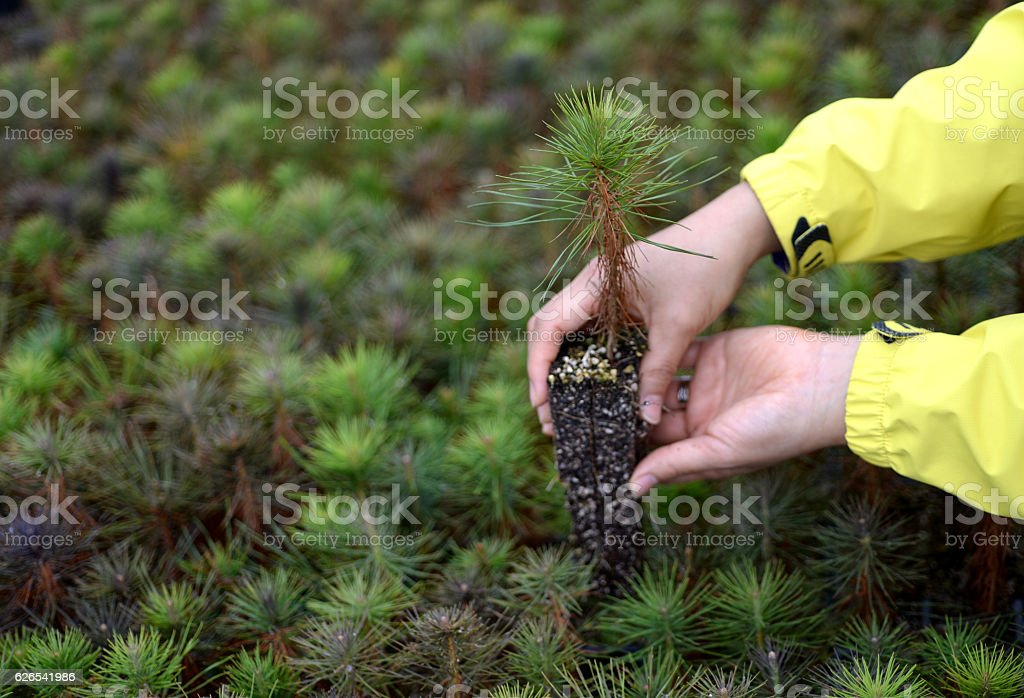 In your hand, the pine tree seedlings stock photo