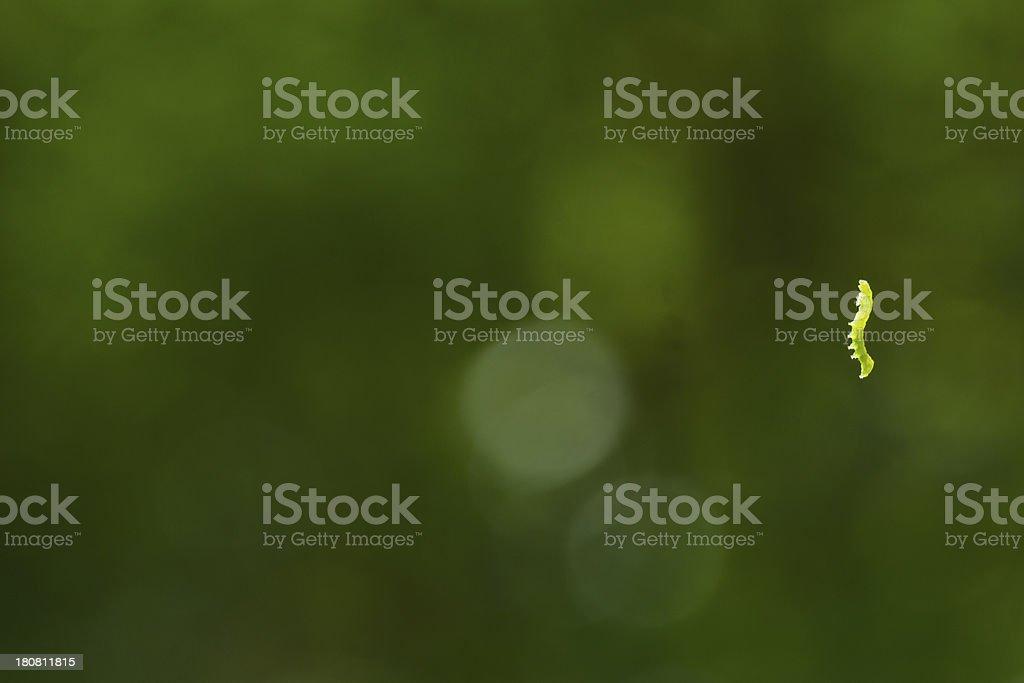 Inch Worm stock photo