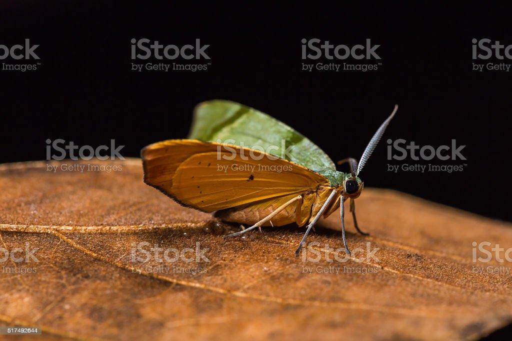 Inchworm moth on dried leaf stock photo