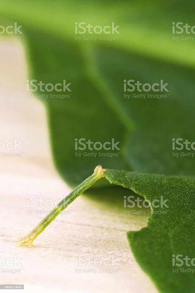 Inchworm on a green leaf stock photo