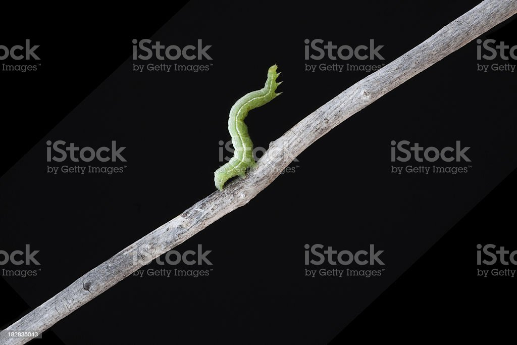 Inchworm on Stick with Black Background stock photo