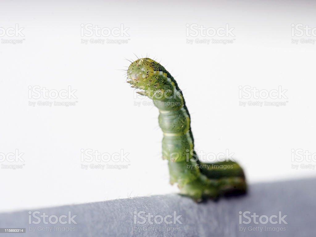 Inchworm stock photo
