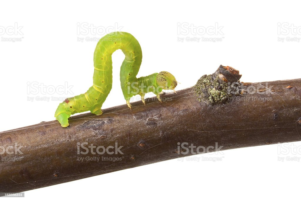 Inchworm walking on a branch stock photo