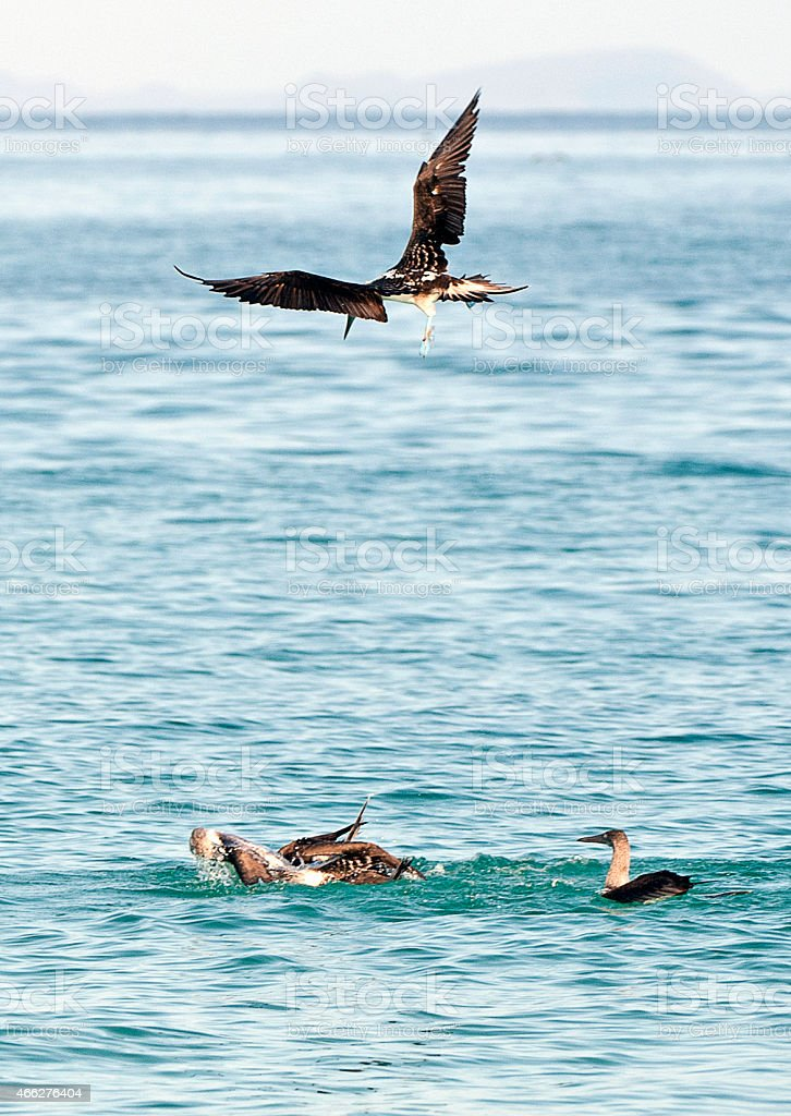 Incoming! A Brown Noddy joins the feeding fray, Galapagos Islands stock photo