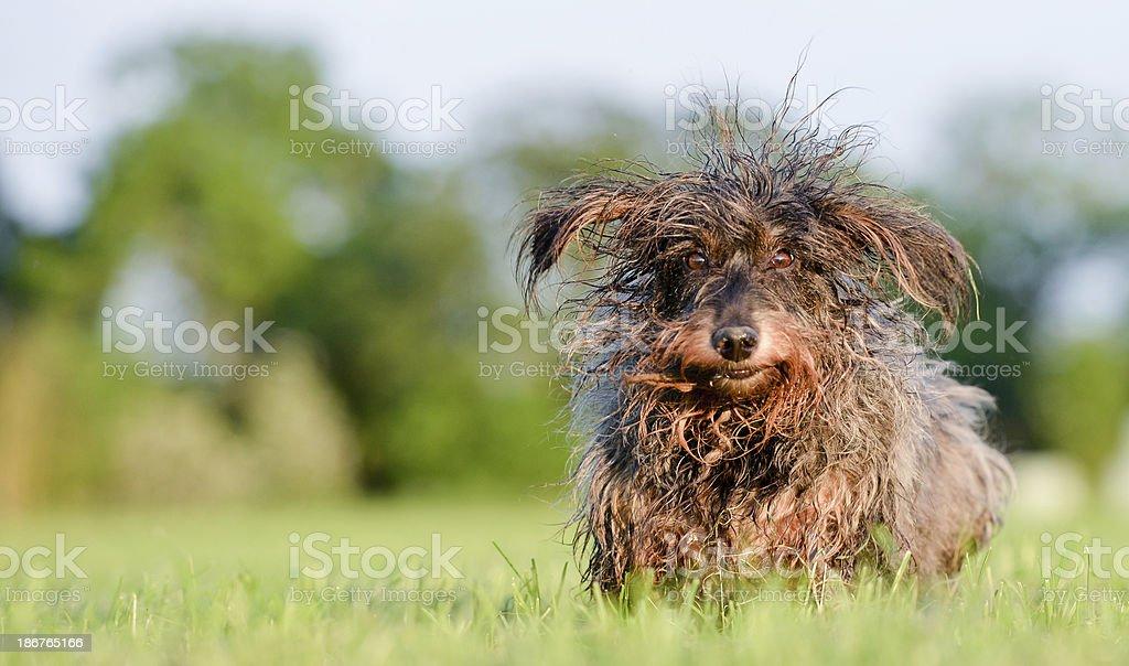 Incoming dachshund stock photo