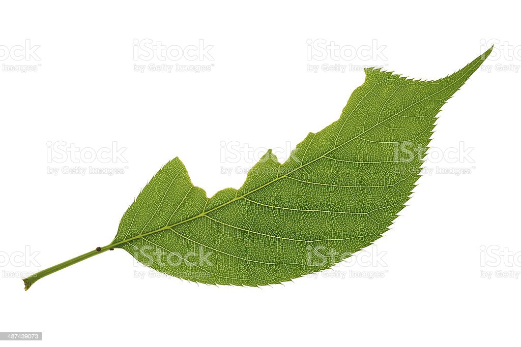 Incomplete green leaf royalty-free stock photo