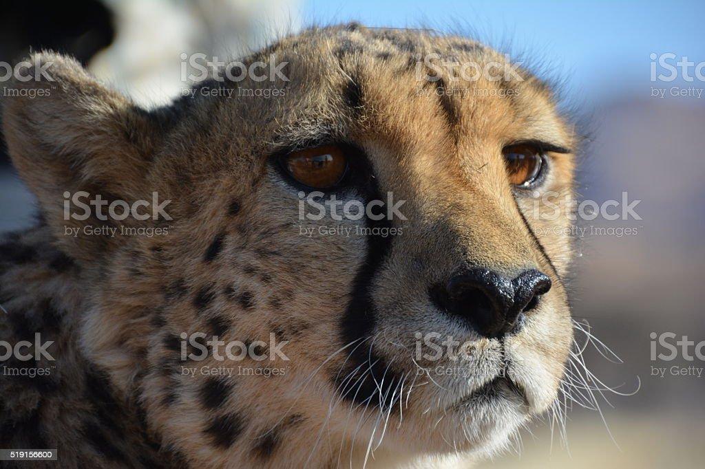 incontro con la cheeta stock photo