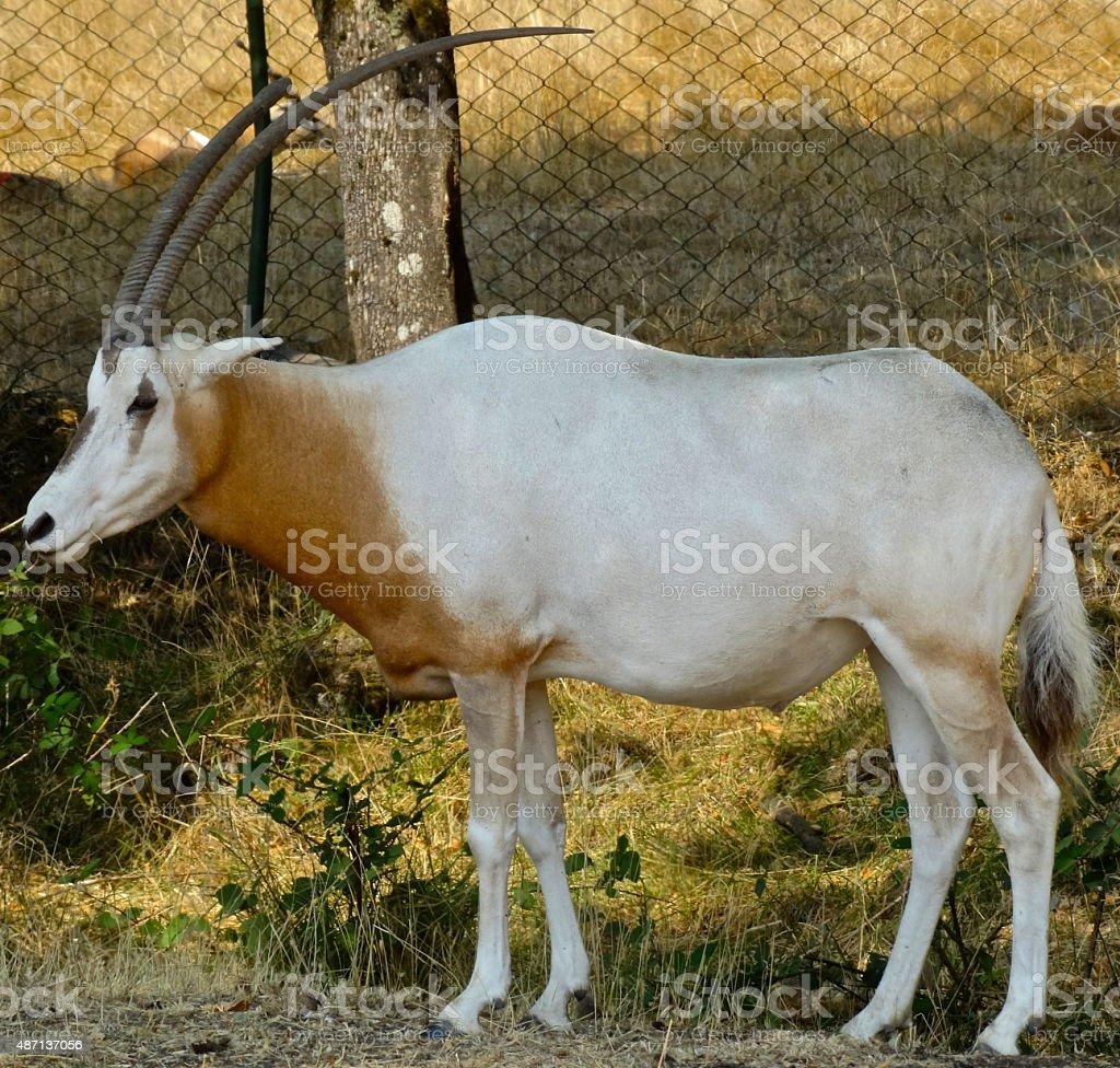 Incredible Ibex stock photo