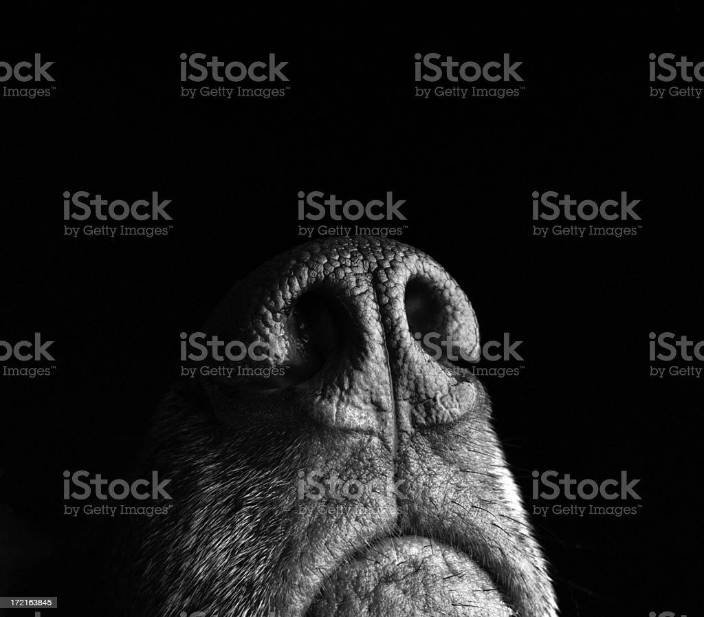 Incredibly sensitive nose of a dog stock photo