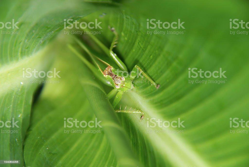 incubatived grasshopper stock photo
