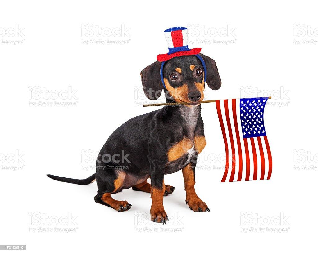 Independence Day Dachshund Dog stock photo