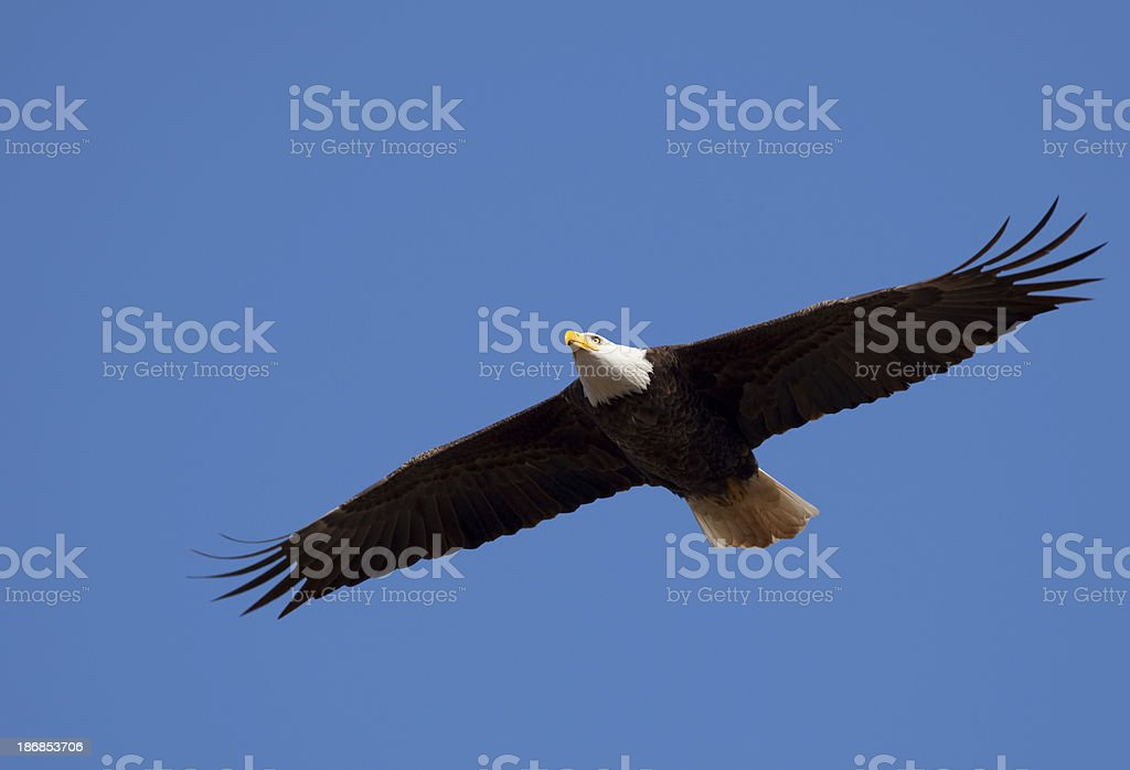 Independent Bald Eagle Flying Blue Sky Over America, Vast Wingspan royalty-free stock photo