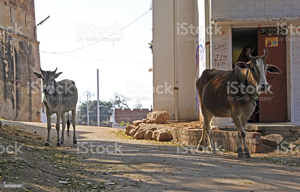 India: Cow in Orchha stock photo