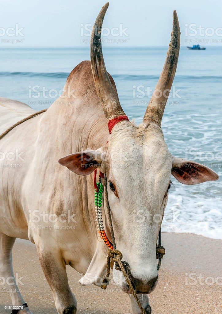 India, Goa. Early morning on the beach Colva. stock photo