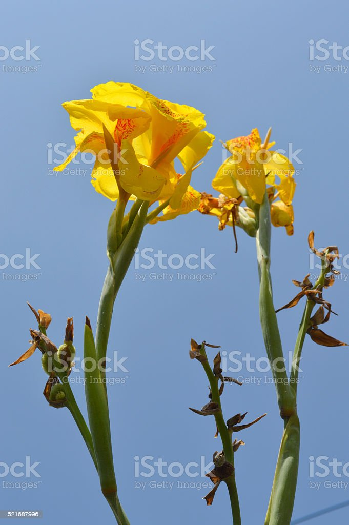 india short plant or canna lily stock photo