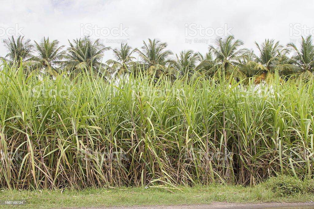 India sugarcane crop stock photo