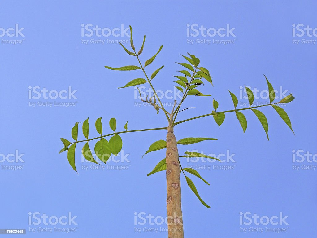 Indian Ash Tree, Moya, Lannea coromandelica stock photo