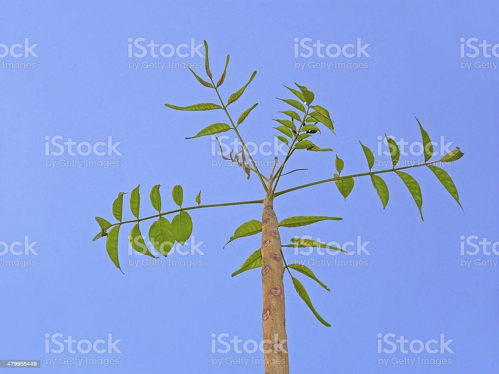 Indian Ash Tree, Moya, Lannea coromandelica stock photo