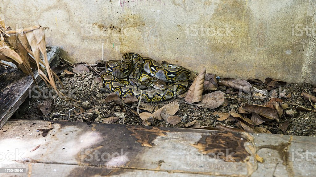 Indian, Asiatic rock , Burmese , Python molurus stock photo