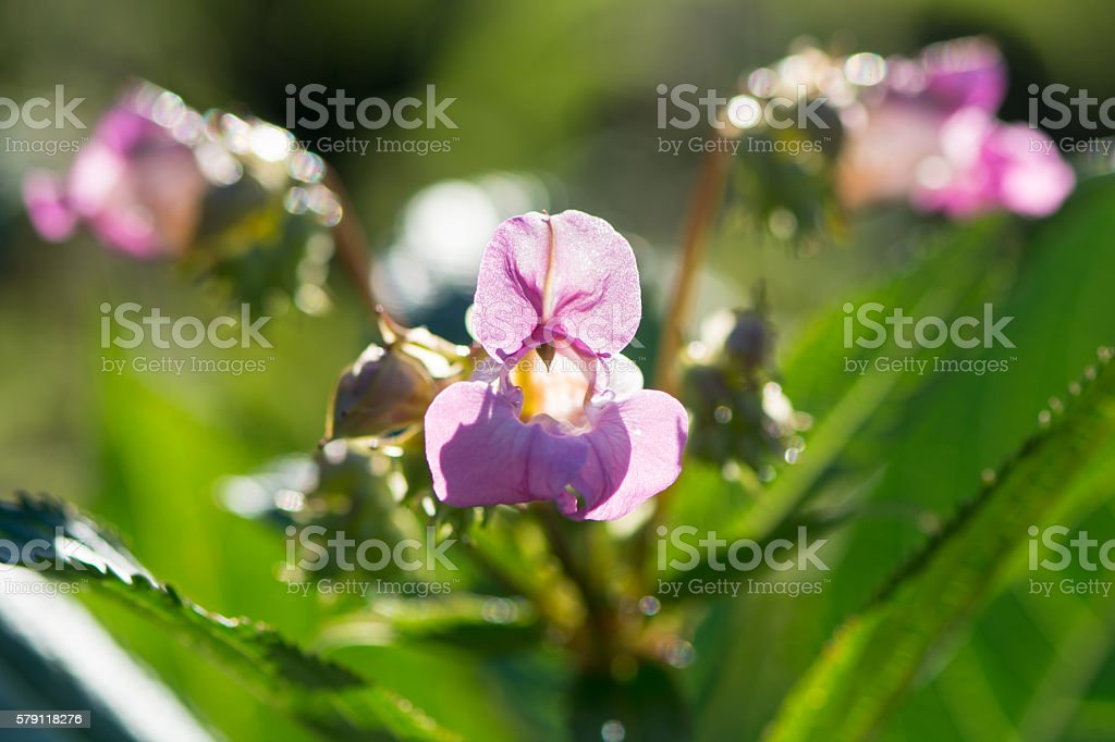 Indian balsam (Impatiens glandulifera) in sunshine stock photo