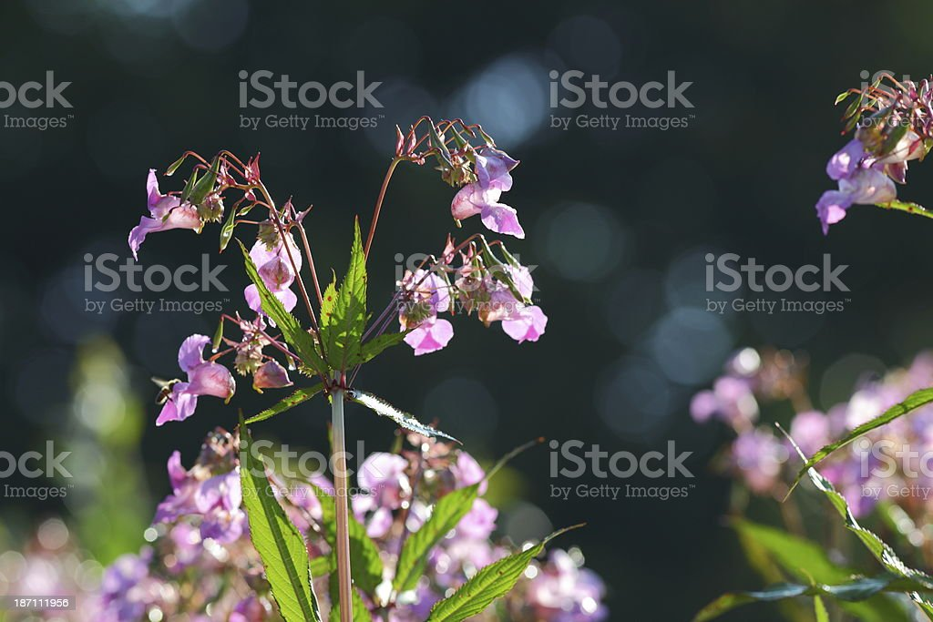 Indian Balsam stock photo