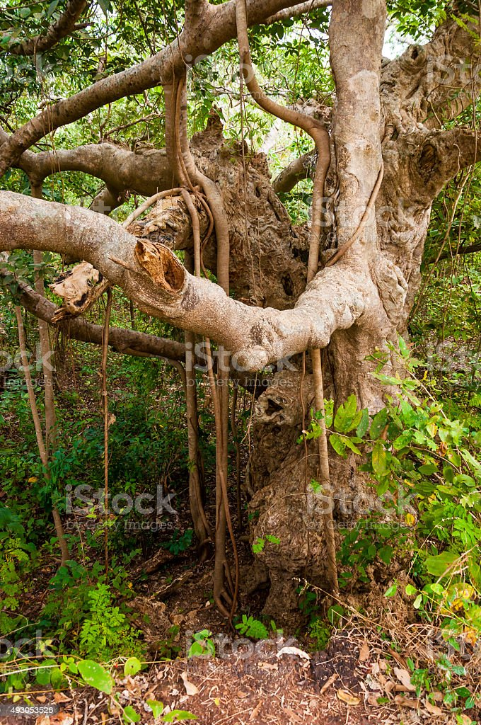 Indian Banyan tree in the middle of the jungle stock photo