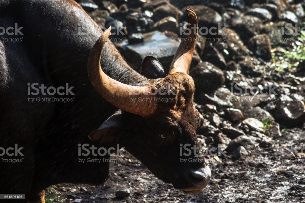 Indian Bison (Gaur) stock photo