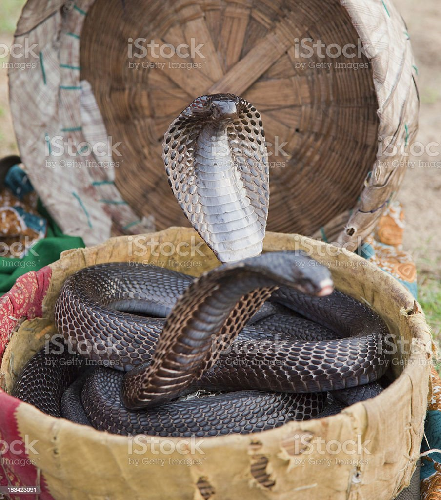 Indian Black Cobra with flared neck stock photo