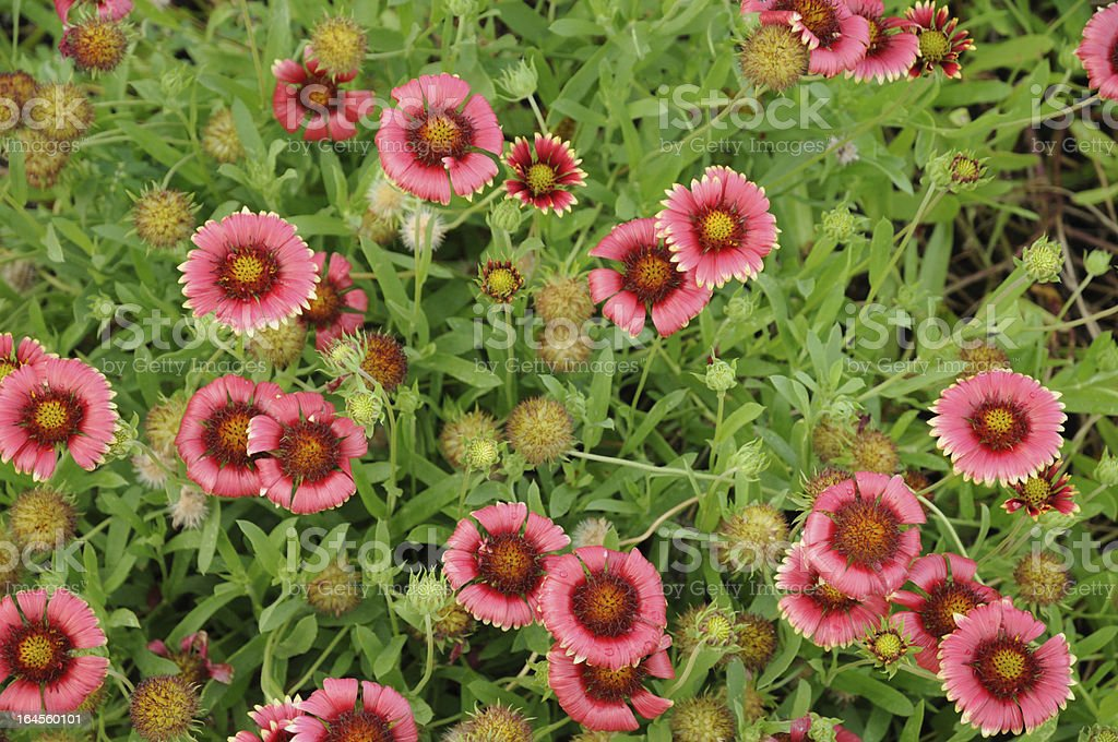Indian Blanket Flower or Gaillardia pulchella stock photo